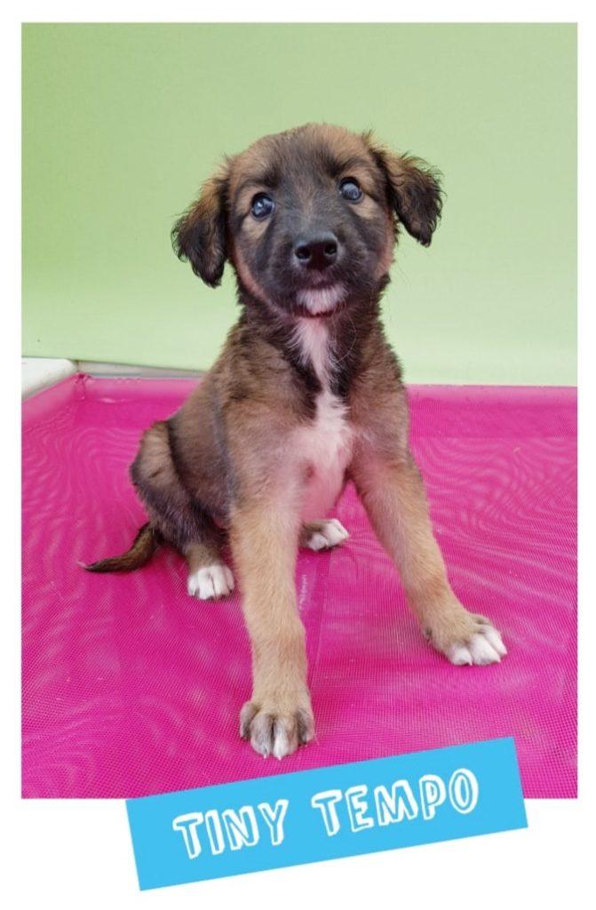 Saluki Cross Puppy Litter - Cara Rescue Dogs